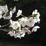 ソメイヨシノ(桜)