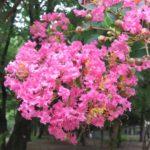 サルスベリ(百日紅)