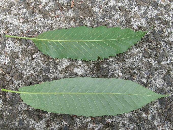 クヌギの葉(上)とコナラの葉(下)